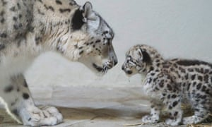 Yep, there's definitely a family resemblance: Snow Leopard 'Milla' looks at her newborn cub at the Zoo de Servion, in Servion, Switzerland.