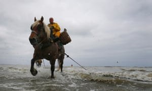 Belgian shrimp fisherman Xavier Vanbillemont rides a cart horse to haul a net from the sea during low tide at the coastal town of Oostduinkerke.
