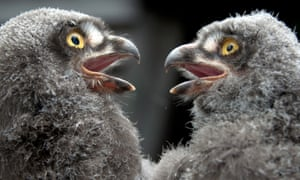 Owl babies: Two young snowy owls admire each other's appearance at Hanover Zoo in Germany.
