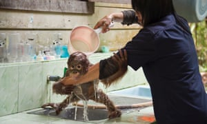 Wouldn't you just love this job? An Orangutan caretaker bathes an infant at the Orangutan Care Centre, Borneo. This one-year-old is one of 330 orphans at the centre. They spend every waking moment with their caretaker and develop special bonds.