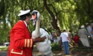 Swans and cygnets are caught, measured, assessed and tagged on the River Thames during the annual Swan Upping ceremony in London, England. Swan Upping is the annual census of the River Thames' swan population is led by David Barber, The Queens Swan Marker, it begins in Sunbury and ends at Abingdon, Oxfordshire later in the week.