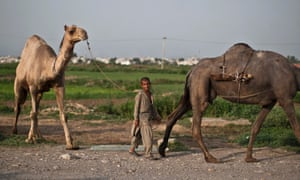 A Pakistani boy walks his camel back home along a street on the outskirts of Islamabad, Pakistan.