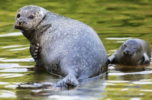 A proud mother seal looks on as her new born seal pup gets its first swimming lessons in Rhenen Zoo near Utrecht, The Netherlands. For the first time in twelve years a seal was born in Rhenen Zoo. Photograph: VidiPhoto/dpa/Corbis