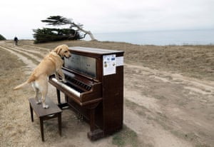 Spencer, a service dog, rests his paws on a piano while being posed for pictures by his owner in Half Moon Bay, California. Twelve pianos were strategically placed in various locations along the San Mateo County coastline as part of an art project by area artist Mauro Ffortissimo. Photograph: Marcio Jose Sanchez/AP