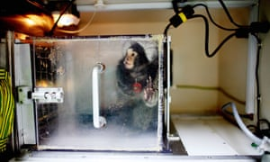 Marmoset in lab Marmoset monkey used in animal research is enclosed in a box at a testing centre.