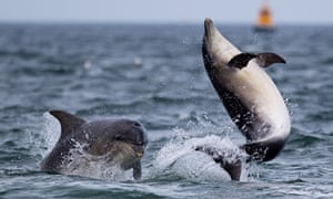 dolphins in Moray Firth