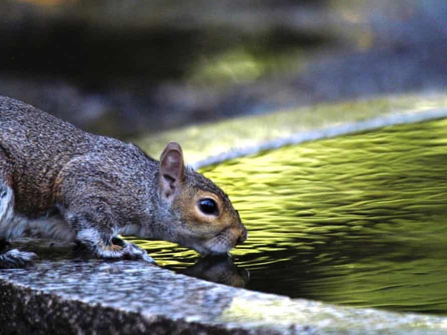 A squirrel takes a drink in Kensington Gardens, central London.