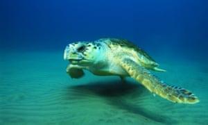 Loggerhead turtle numbers were said to be 'crashing'.