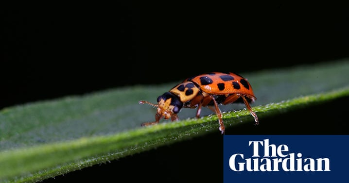 A guide to British ladybirds – in pictures | Environment