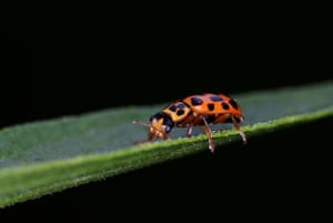 UK Ladybirds: Water Ladybird