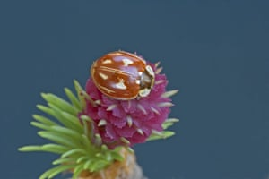 UK Ladybirds: Striped Ladybird Myzia