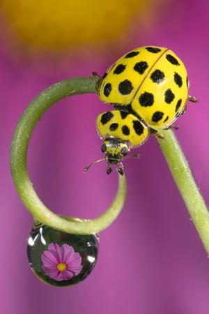 UK Ladybirds: 22-spot Ladybird (Psyllobora vigintiduopunctata)