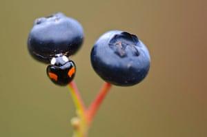 UK Ladybirds: Harmonia axyridis, harlequin ladybird