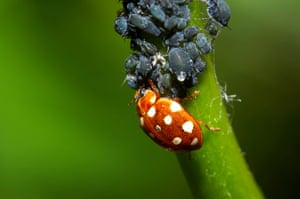 UK Ladybirds: Cream-spot ladybird feeding on blackfly