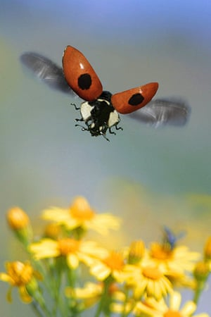 UK Ladybirds: two-spot ladybird, 2-spot ladybird (Adalia bipunctata), flying