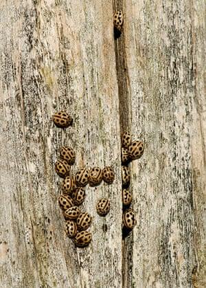 UK Ladybirds: 16 spot ladybirds Tytthaspis 16 punctata