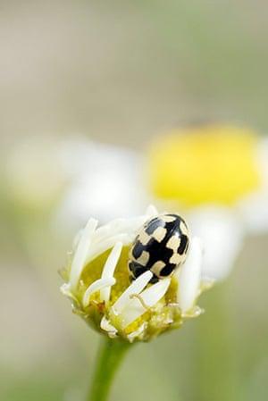 UK Ladybirds: 14-spot ladybird propylea 14 punctata