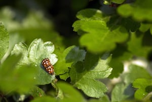 UK Ladybirds: Ten-spot ladybirds (Adalia 10-punctata)