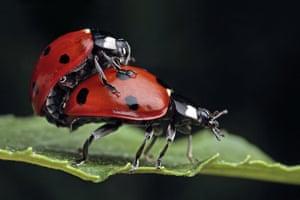UK Ladybirds: Seven-spot Ladybird (Coccinella septempunctata)