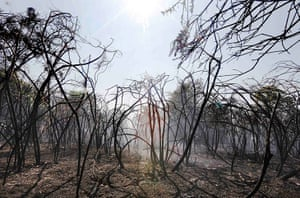 Week in Wildlife: shrubs and trees after a fire on Mitcham Common in south London