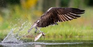 Week in Wildlife: Osprey