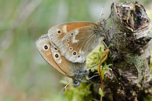 Week in Wildlife: Large Heath butterflies