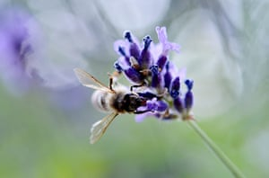 Week in Wildlife: A bee collects nectar of a  flower