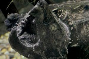 Week in Wildlife: Alligator Snapping Turtle