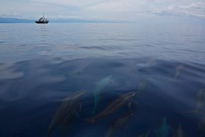 Week in Wildlife: Handout photo of spinner dolphins in Philippine waters