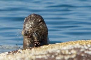 Week in Wildlife: Sea Otter