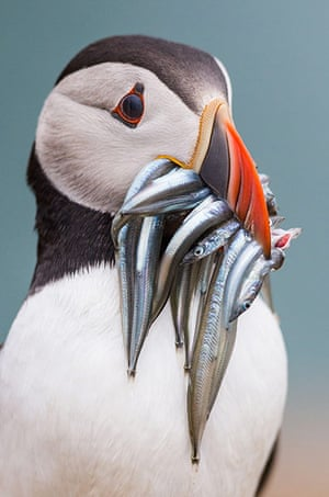 Week in Wildlife: Puffins, Skomer Island, Pembrokeshire