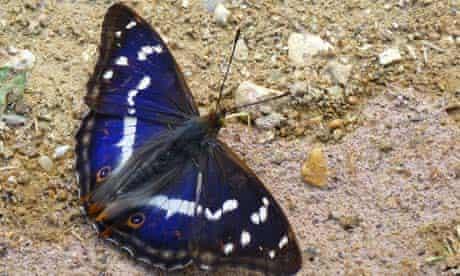 A purple emperor butterfly