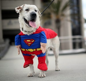Comic-con: Beckham the dog sports a Superman costume during Comic-Con