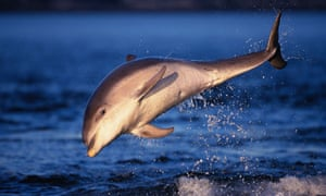 A bottlenose dolphin off the coast of the UK