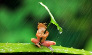 While storm clouds gather in the UK, take a tip from this resourceful frog and don't leave home without your umbrella. This tiny tree frog was photographed sheltering under a leaf in East Java, Indonesia.