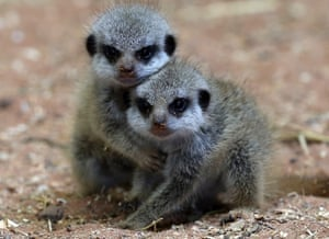 Now, talking of new babies, two of the three recently arrived baby meercats play together in their enclosure at Bristol Zoo Gardens. The triplets who were born two days ago are yet to be named and bring the number of meerkats homed at the zoo to eighteen.