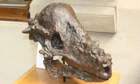 Skull of a pachycephalosaurian dinosaur