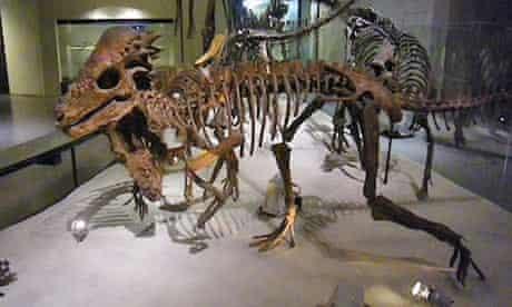 Pachycephalosaur skeleton