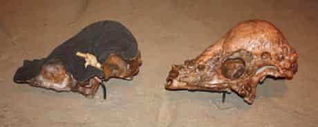 Section through a pachycephalosaur skull