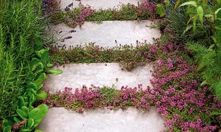 Thyme growing between paving stones
