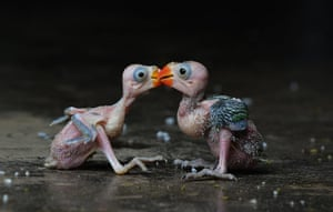 20 Photos: A pair of Indian parrot hatchlings are photographed in Dimapur, India