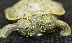 Two-headed turtle, San Diego Zoo