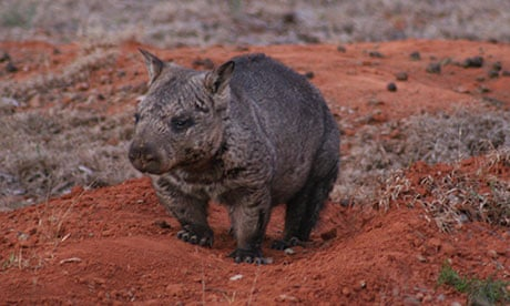 Two Of Australias Three Wombat Species Under Threat From Killer - 14 incredible photos animals inside womb