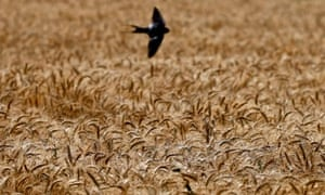 A wheat field, in Qalubiyah, north Cairo, Egypt