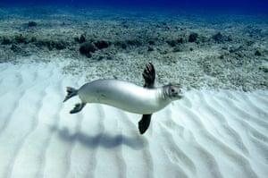 Free diving: Seal swims off Oahu, Hawaii