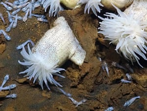 Anemones and shrimp living at a hydrothermal vent