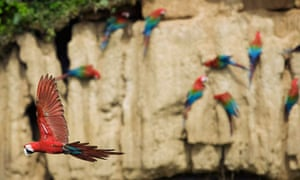A Red and Green Macaw flies next to a clay lick at the Manu Biosphere Reserve