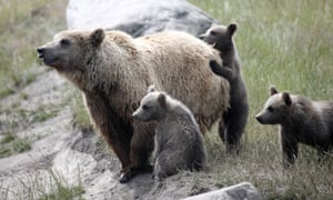 A brown bear with six-month-old baby bears in the Scandinavian brown bear animal park in Aarhus, Denmark.
