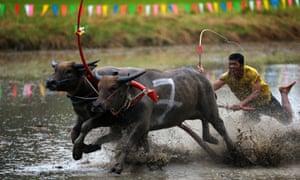 A Thai buffalo racer competes during a buffalo racing competition in Chonburi Province, Thailand.  The race was held as a celebration for the arrival of ploughing season.