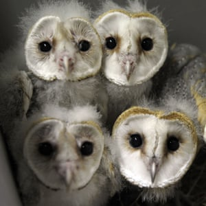 Barn Owl chicks at a zoo in Amneville, France.